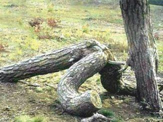 gay trees