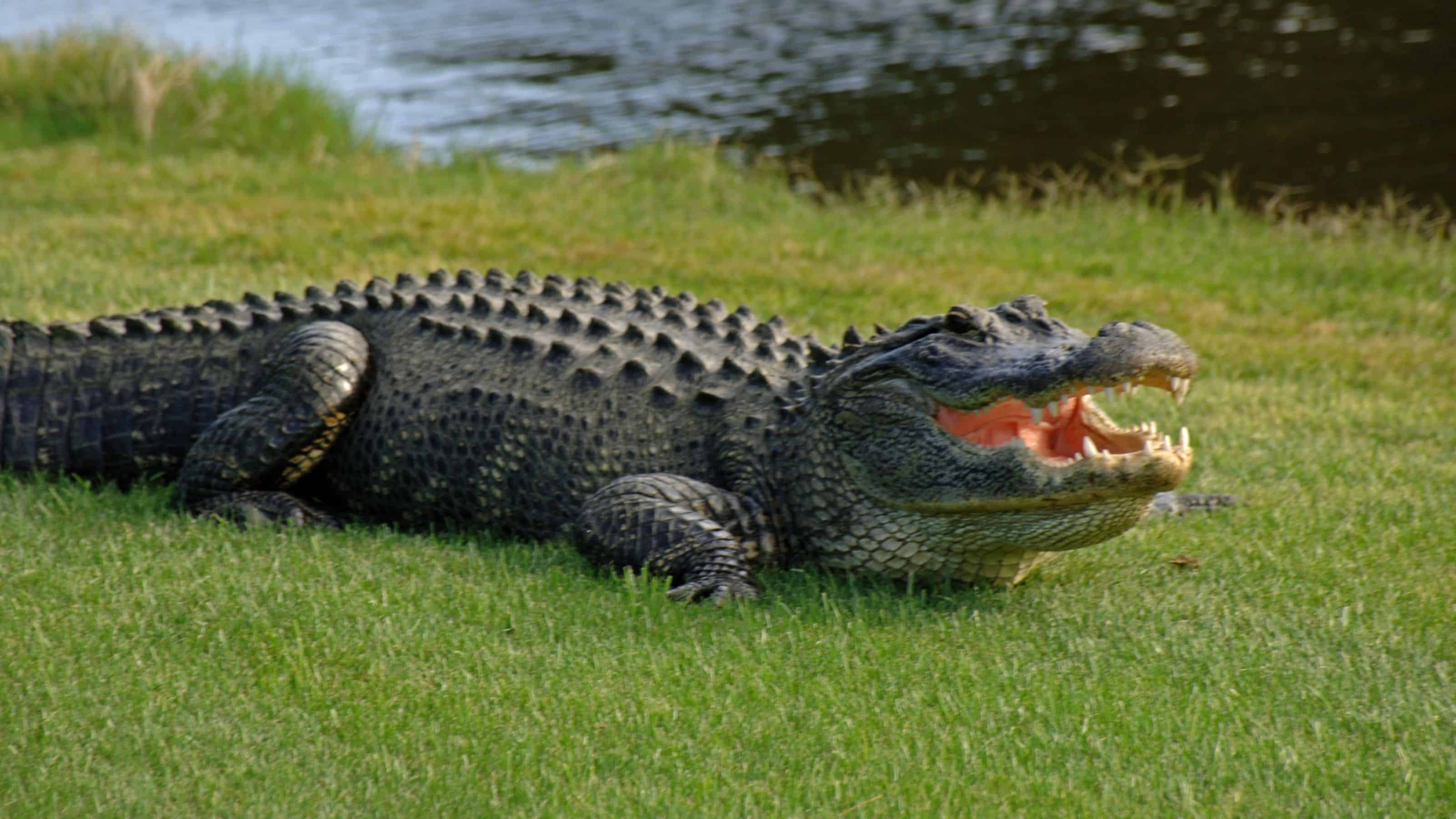 florida man rapes alligator gets arrested