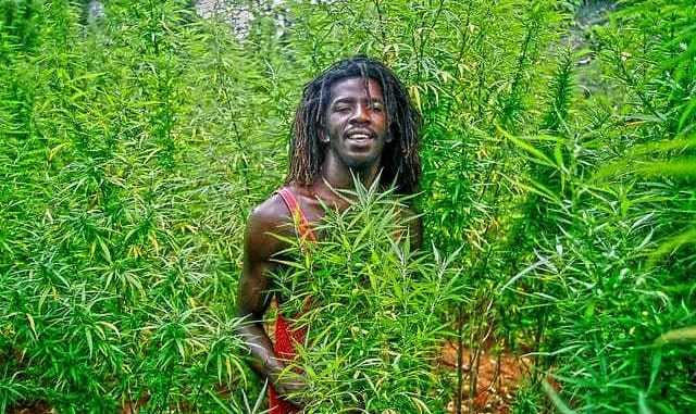 Jamaican weed